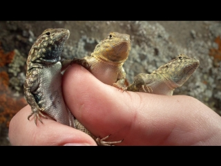 These Lizards Have Been Playing Rock-Paper-Scissors for 15 Million Years (Deep Look)