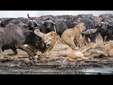 Buffaloes Too Thirsty Crazy, Risked To Defeat The Lions Regain Waterhole