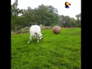 This cow makes the cutest little grunts when he's playing fetch