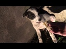 Mission Paws'ible Bali Dog Rescue Billie