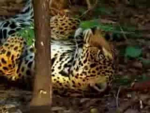 Jaguar tastes the hallucinogenic effects of yage