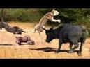 Hero Buffalo save family Warthog from Lion and Leopard Warthog Vs 15 Wild Dog