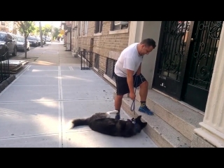 Хаски не хочет возвращаться домой после прогулки в парке.