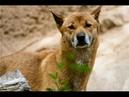 Новогвинейская поющая собака. Всё о Породе телепередача