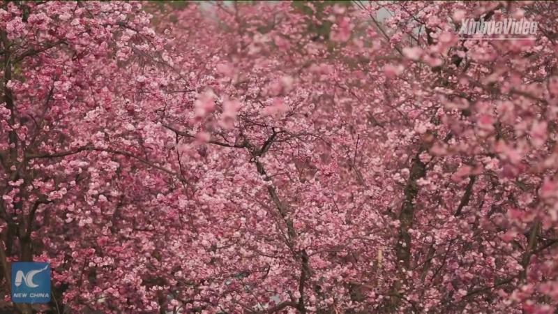 Более 5000 вишневых и яблоневых деревьев зацвели этой весной в Куньмине