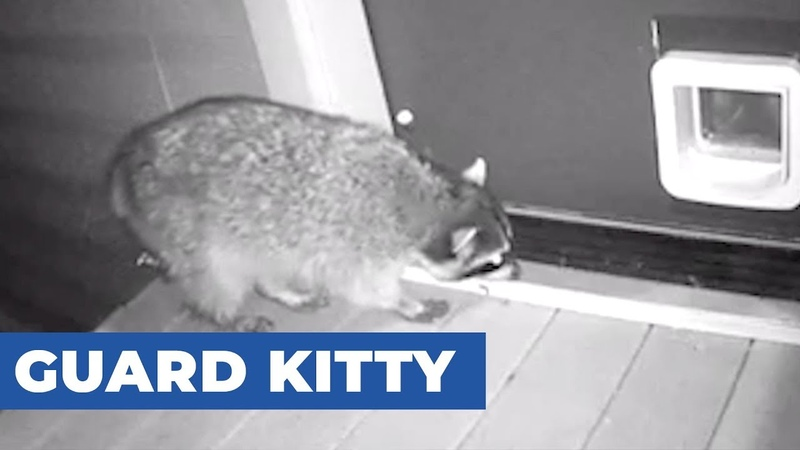 Cat Chases Raccoon Trying to Enter Through Cat Flap