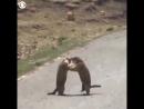 Эпичный махач сурков хорошее настроение юмор смешное видео Мортал Комбат драка звери бушуют дорога битва война зверь