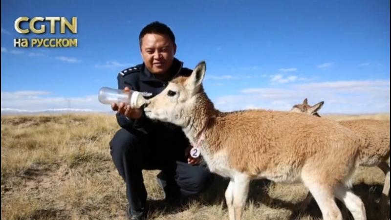 На крыше мира -- Команда горных рейнджеров охраняет уникальную экосистему Цинхай-Тибетского плато