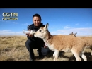 На крыше мира Команда горных рейнджеров охраняет уникальную экосистему Цинхай Тибетского плато