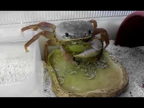 My pet crab crush True bug