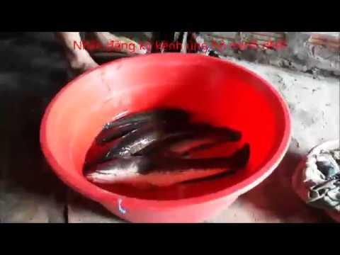 Câu cá lóc giật cá mỏi tay | hương tràm u minh