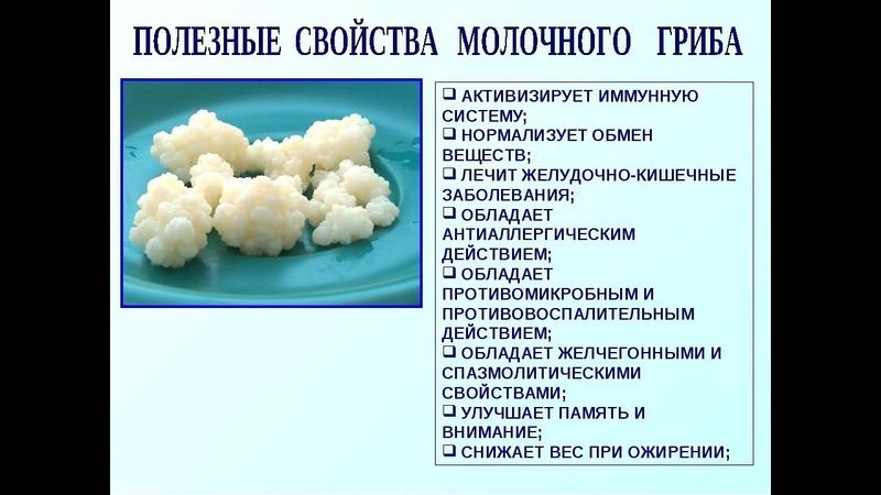 Тибетский молочный гриб кефирный гриб Свойства оживляем