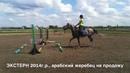 Продажа лошадей арабской породы конефермы Эквилайн тел WhatsApp 79883400208 ЭКСТЕРН 2014г р