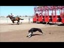 6 Duelos de Velocidad Caballos Frente a Galgos Profesionales