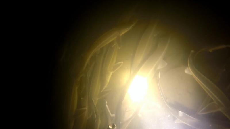 Стерлядь и Бестер на зимовальных ямах на ОКЕ!подводное видео!Подводная охота 2019!