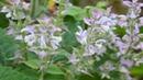 Пряно ароматические растения Какие пряные растения растут у нас в саду