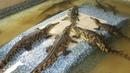 Нильские крокодилы радостно плещутся в бассейне