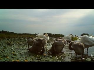 AST-NEWS.ru: Лебединое семейство на отдыхе в Астраханском заповеднике