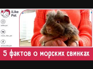 5 необычных фактов о морских свинках на ilikepet