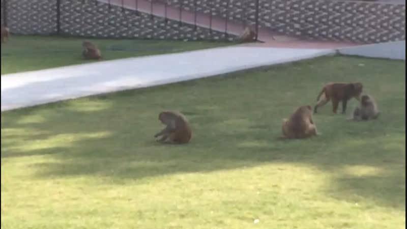В храме обезьян Джайпур