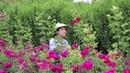正是云南玫瑰花开的季节,摘了些花做鲜花饼,做满满一筐吃得才过瘾 12304