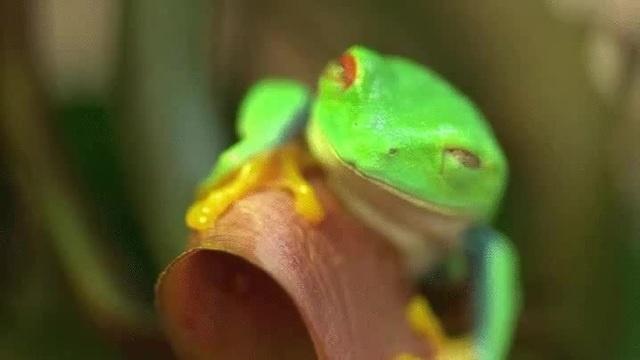 гипно лягушка | kawaii nya | frog
