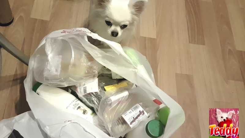 Чихуахуа собака Приколы чихуашкой Тедди разбирает покупки Мини собака Teddy Chih Порода Chihuahua