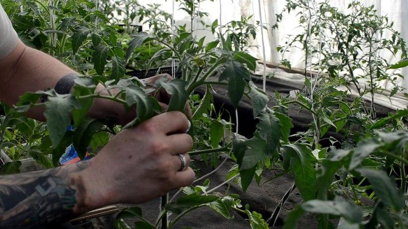 Формировка помидоры для лучшего урожая