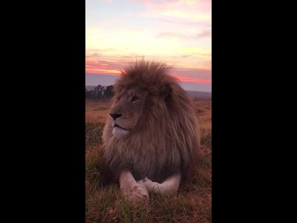 Лев. Величественный царь зверей!