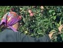 На закладку новых садов и виноградников севастопольские агрофирмы получили больше 70 млн рублей