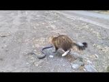 Астрахани дворовой кот вступил в борьбу с крупной змеей.