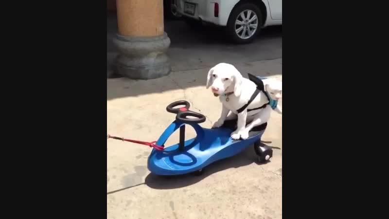Собака носит щенка в слинге
