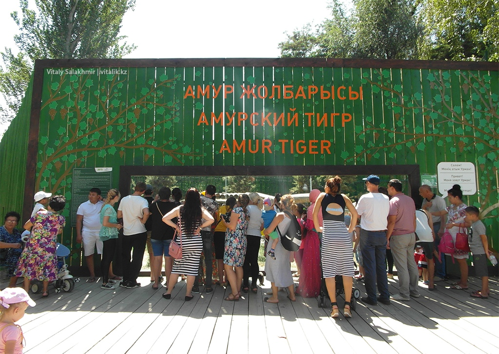 Амурский тигр, зоопарк Алматы