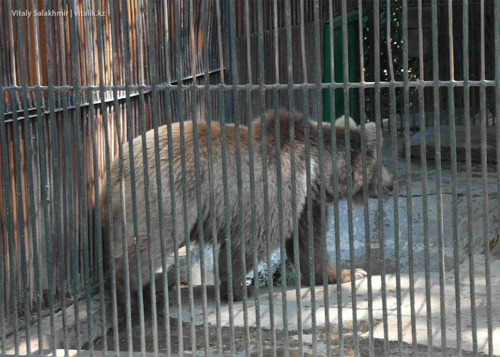 Бурый медведь, зоопарк Алматы 2018