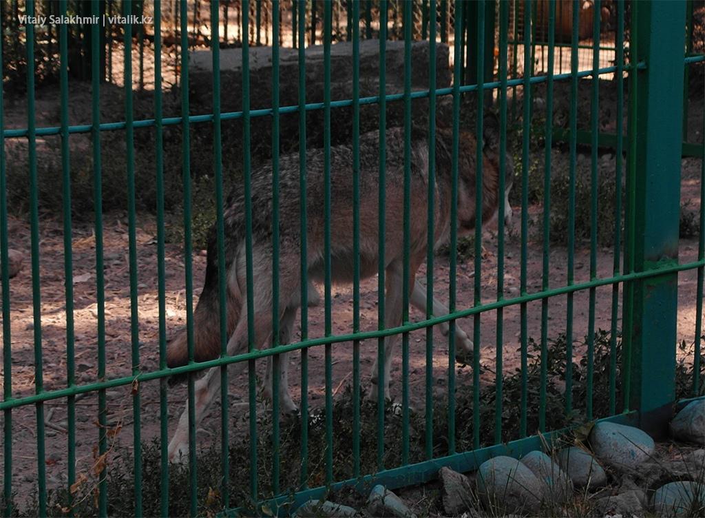 Волк в зоопарке Алматы 2018