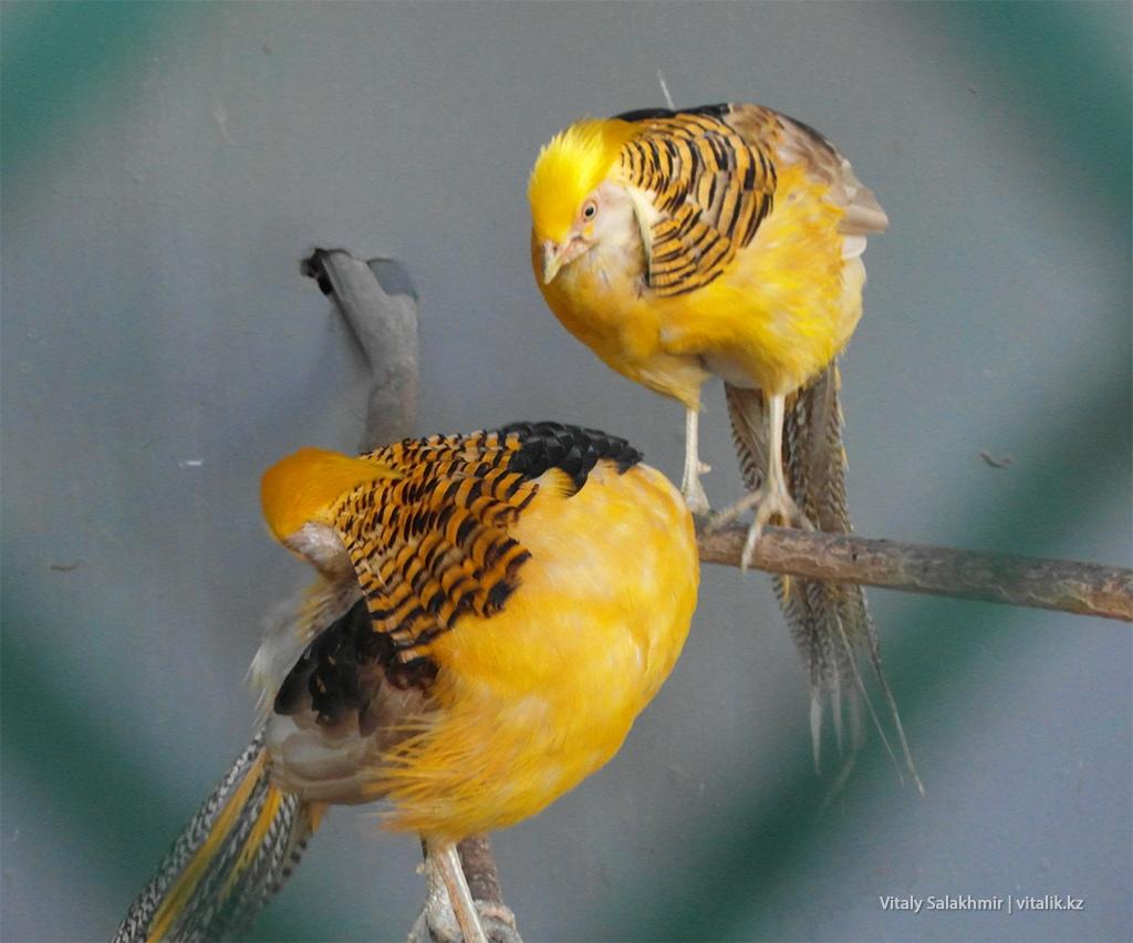 Золотой фазан в зоопарке Алматы