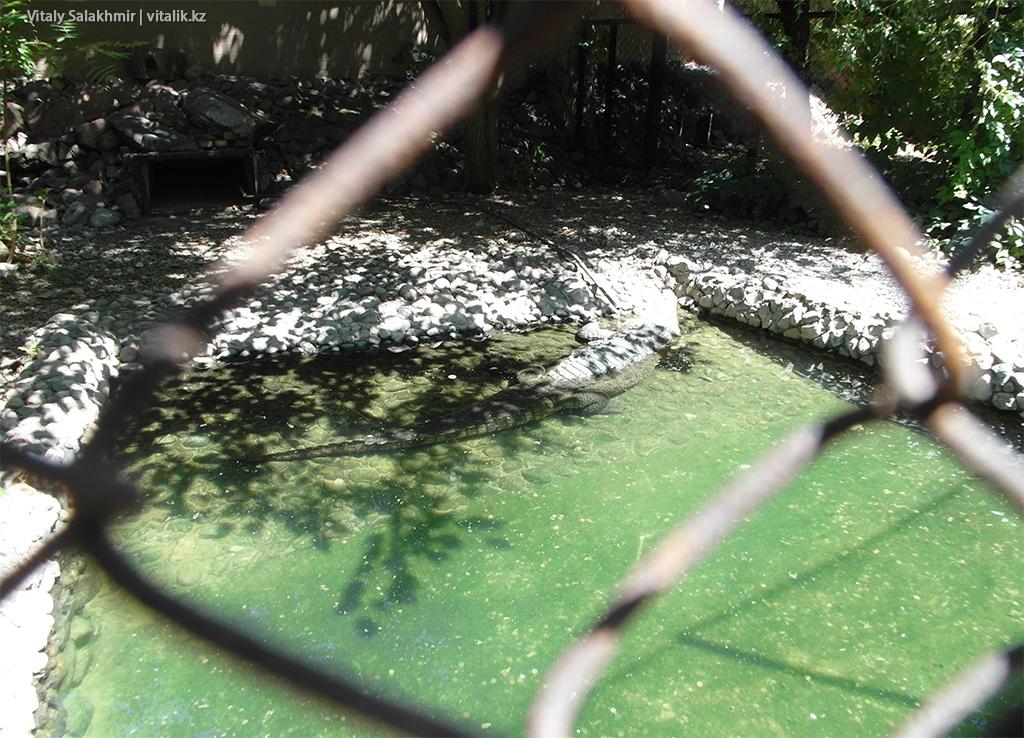 Кубинский крокодил в зоопарке Алматы 2018