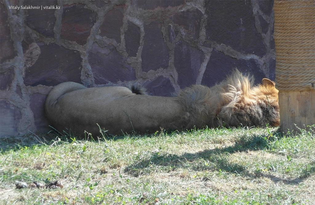Лев в зоопарке Алматы 2018