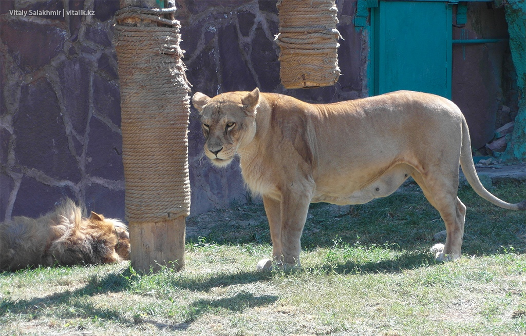 Львица в зоопарке Алматы 2018