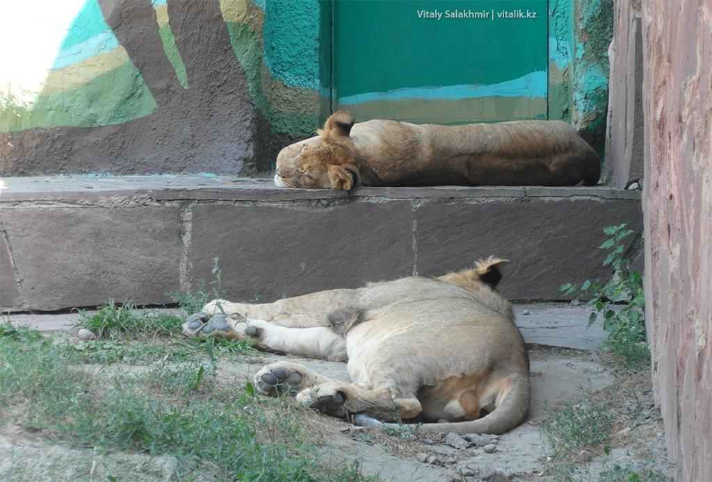 Пара львов в алматинском зоопарке 2018