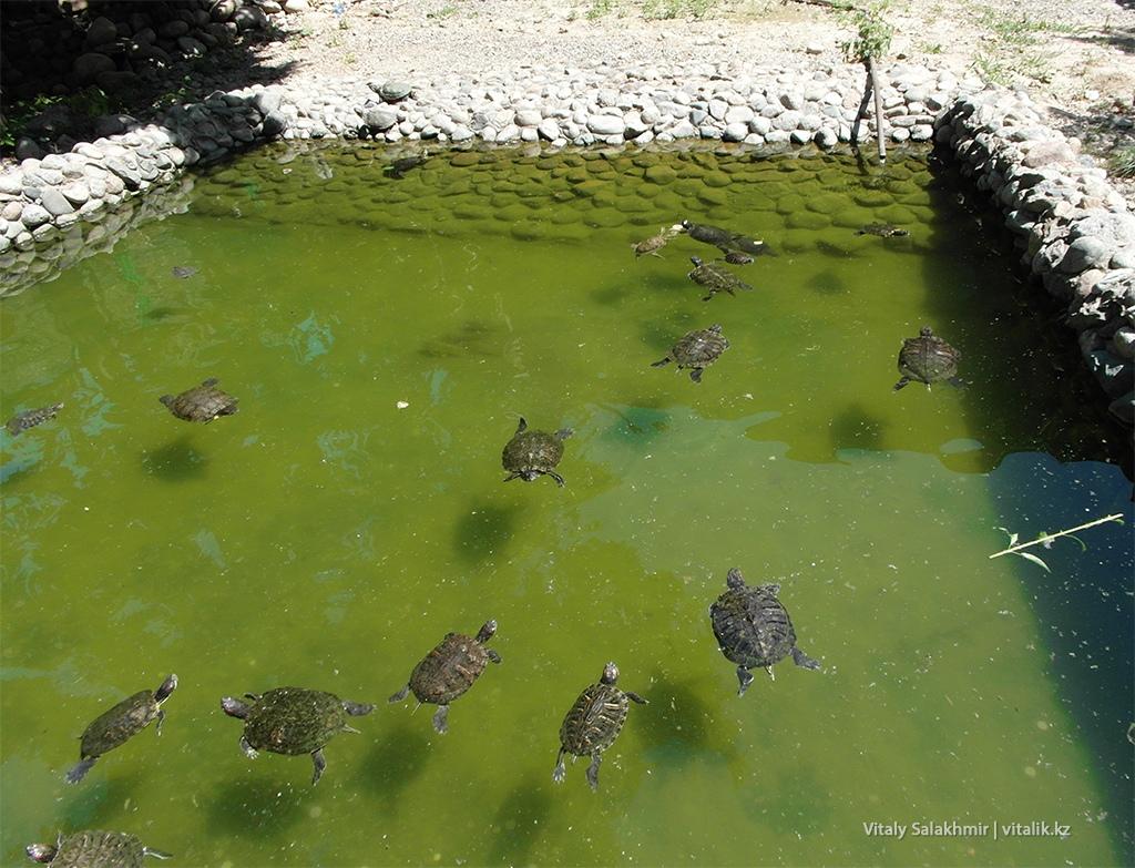 Малайская черепаха, зоопарк Алматы 2018