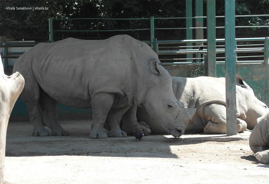 Носороги в алматинском зоопарке 2018