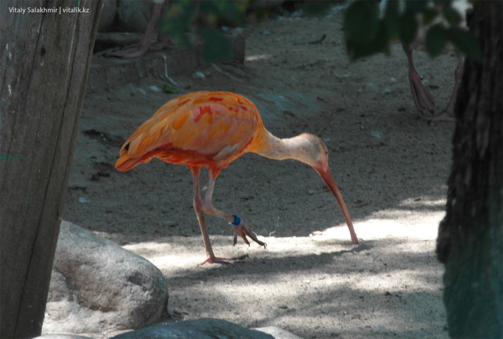 Оранжевая птица, зоопарк Алматы 2018