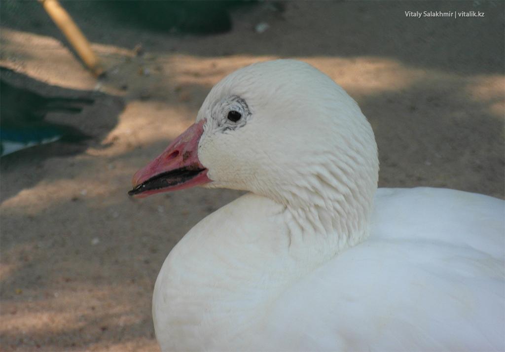 Печальная утка в зоопарке Алматы