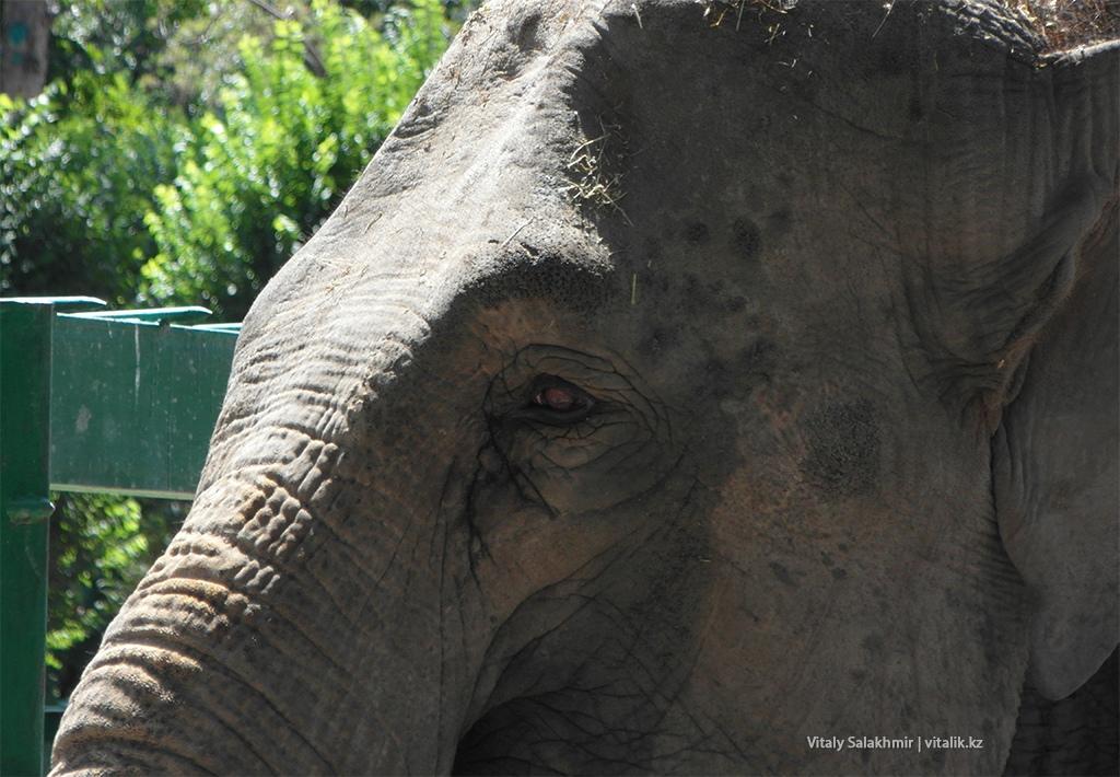 Глаза слона в алматинском зоопарке 2018