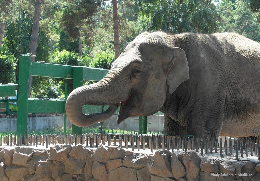 Слон в зоопарке Алматы 2018