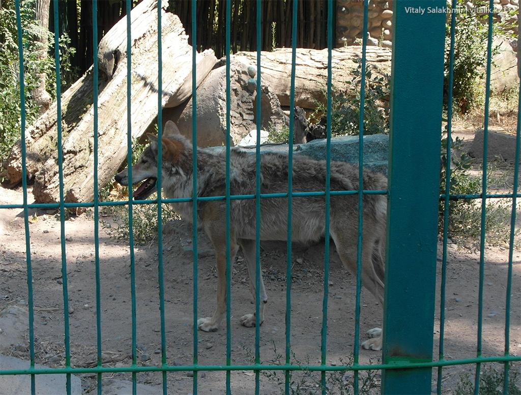 Степной волк в зоопарке Алматы 2018