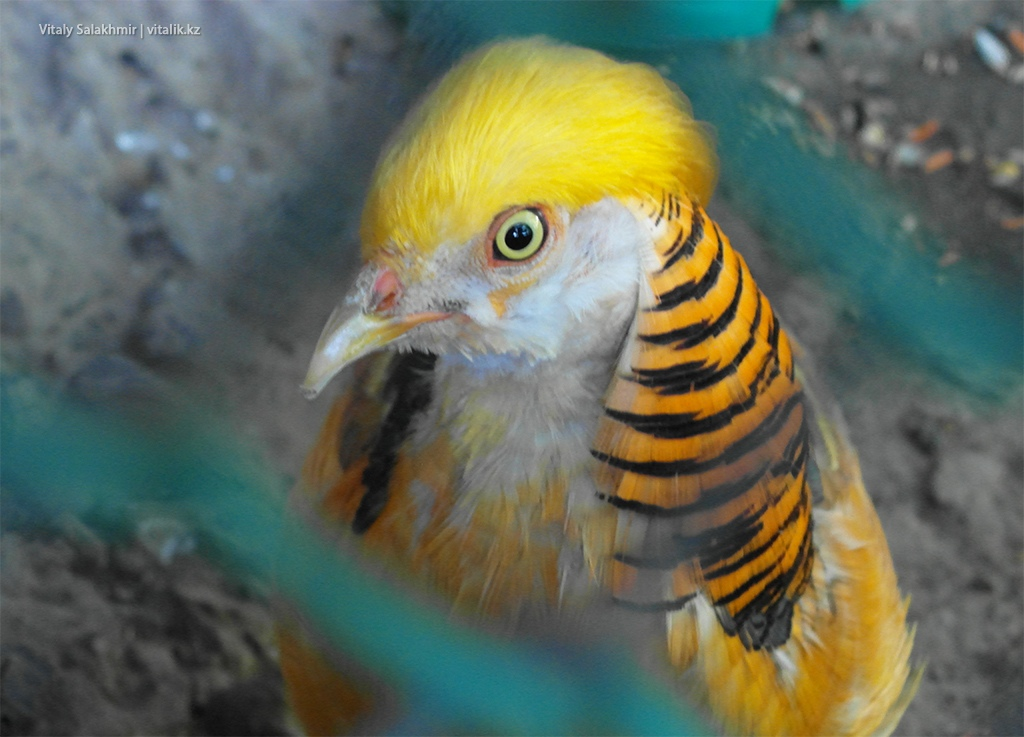 Золотой фазан, зоопарк Алматы 2018