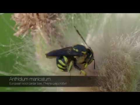 Anthidium manicatum, European wool carder bee, Пчела-шерстобит