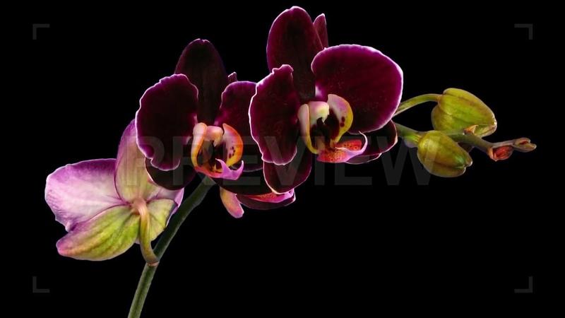 Opening Purple Phalaenopsis Orchids Stock Video